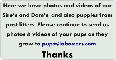 Here we have photos and videos of our Sire's and Dam's, and also puppies from  past litters. Please continue to send us  photos & videos of your pups as they  grow to pups@laboxers.com Thanks